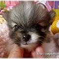 パピヨン子犬&ポメラニアン子犬
