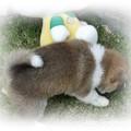 8月17日誕生 柴犬 オーナー様募集