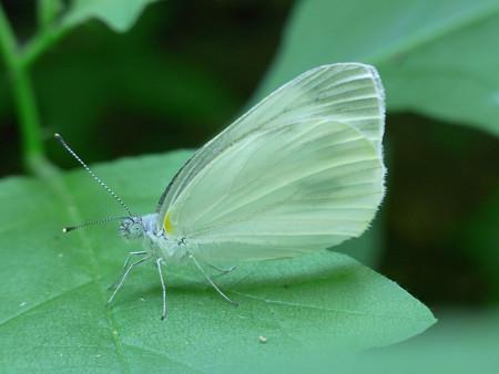 木陰の紋白蝶