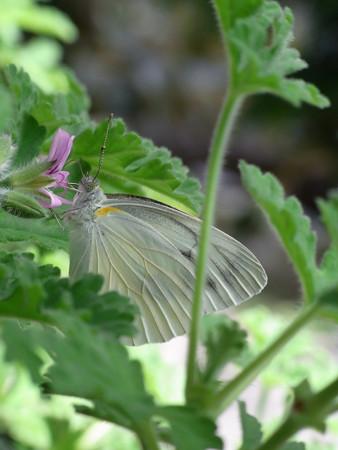 紋白蝶とセンテッドゼラニウム