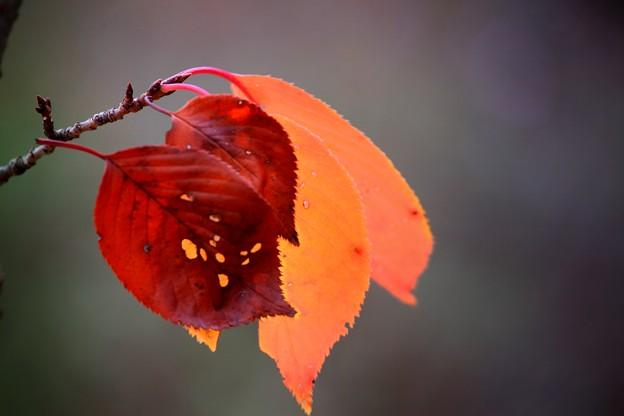 桜葉のうつろい