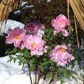 雪のぼたん苑3