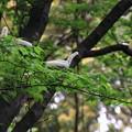 竹林のサクラ