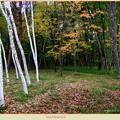 白樺林の秋
