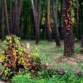 ひっそりした林