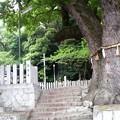 Photos: 石神社と大楠