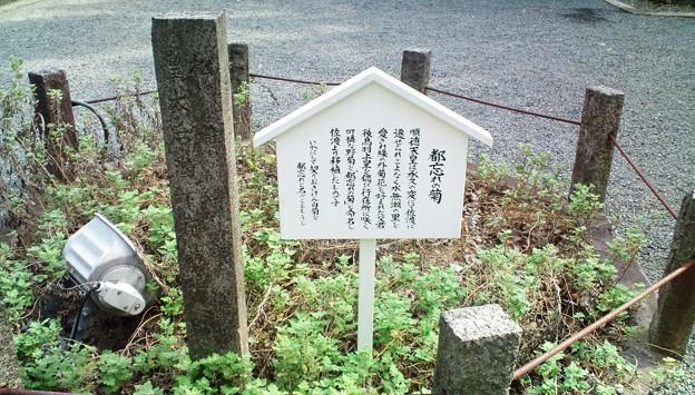 04水無瀬神宮・都忘れの菊