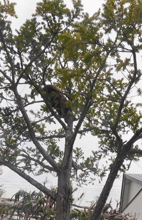 木を降りるチビタン