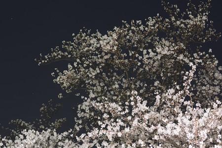 夜桜004