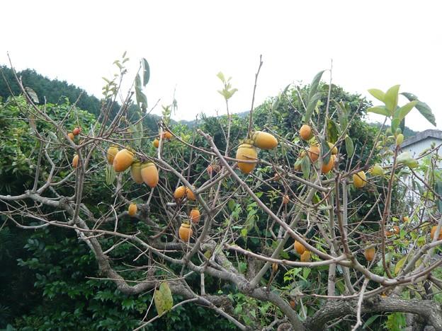 P1310087筆柿の里・幸田