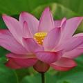Photos: ハスの花..