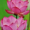 Photos: ハスの花.