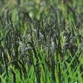 Photos: 古代米実りの季節