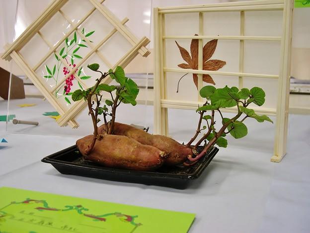 Photos: 小学校の展覧会(サツマイモの芽)