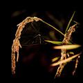 写真: 収穫守衛