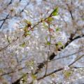 Photos: 12分咲き