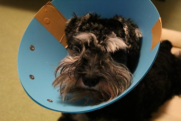 去勢手術後のカイル