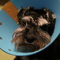 写真: 去勢手術後のカイル