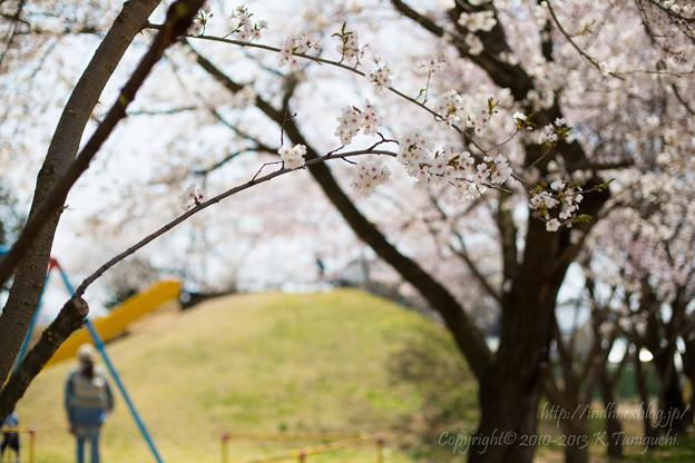 Photos: 公園の桜