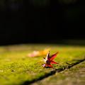 Photos: 紅落葉