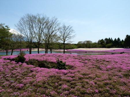 富士芝桜5