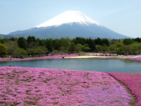 富士芝桜9