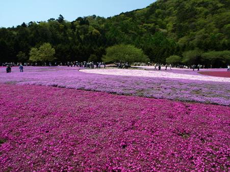 富士芝桜20