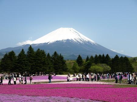 富士芝桜52