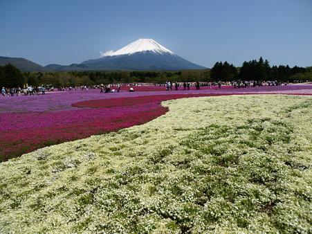 富士芝桜56