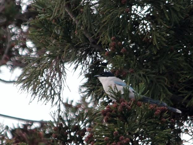 写真: 杉の木にオナガ