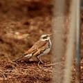 Photos: 畑の中のツグミ♀