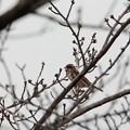 写真: 冬のホオアカ