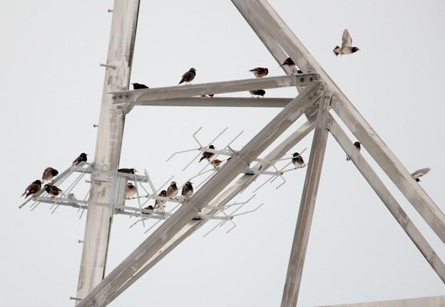 Photos: オオワシの鉄塔に群れるムクドリ