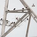 写真: オオワシの鉄塔に群れるムクドリ