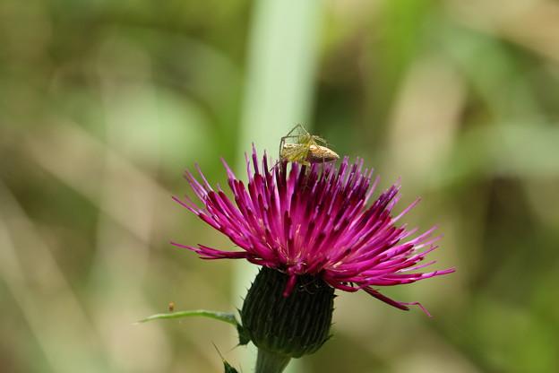 Photos: アザミと虫たち1