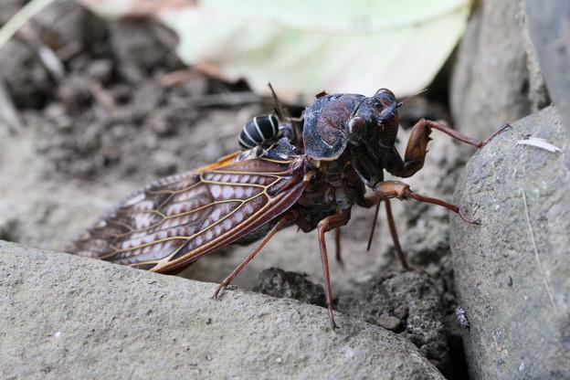 アブラセミに襲い掛かるクロスズメバチ