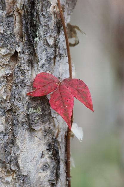寂しい紅葉