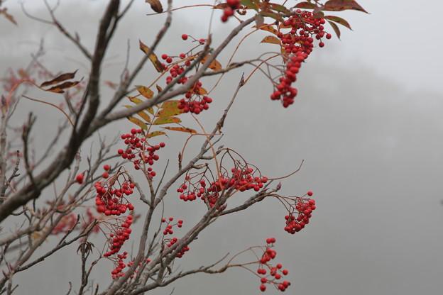 霧の中の赤い実