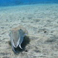 Cuttlefish Frontal