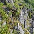 Photos: キリンソウの咲く頂上付近の断崖