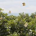 Photos: カシワ林を飛ぶカシワアカシジミ