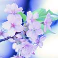 Photos: 夢み桜