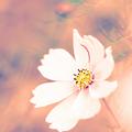Photos: 暮れて秋桜…