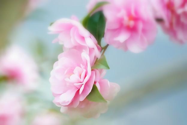 冬の乙女花