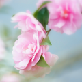 Photos: 冬の乙女花