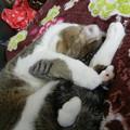 Photos: 猫 アメリカンカール