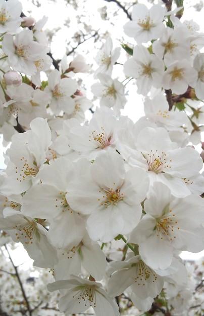 桜~満開です……?