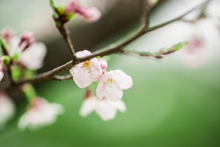#20 桜