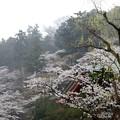 雨と桜と高幡不動尊