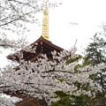 雨と桜と高幡不動尊2